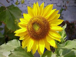 Kansas_sunflower